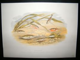 Houghton 1879 Folio Antique Fish Print. Sticklebacks